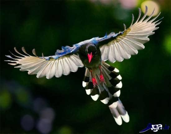 زیباترین پرنده جهان