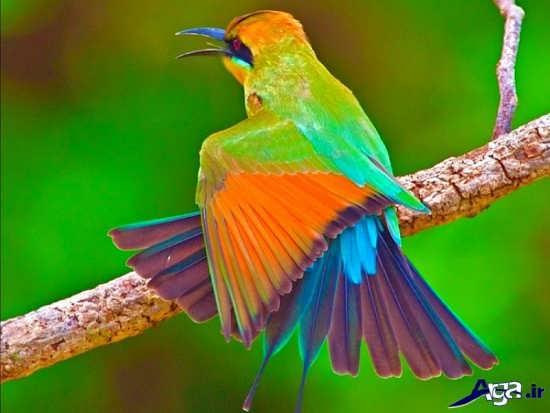 زیباترین پرنده دنیا