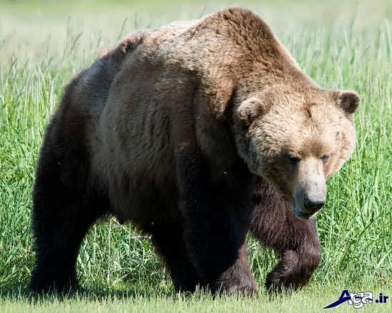 عکس های خرس خاکستری