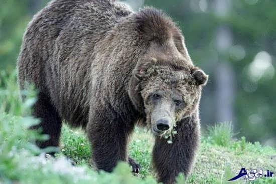خرس گریزلی در طبیعت