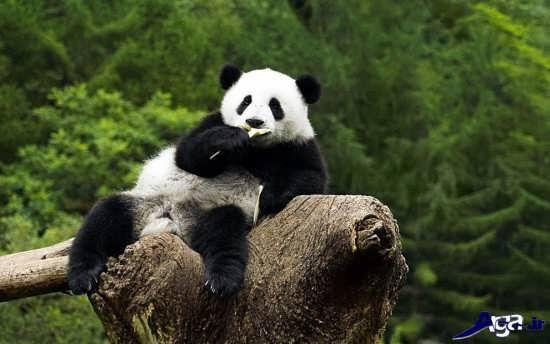 عکس های خرس پاندا در جنگل