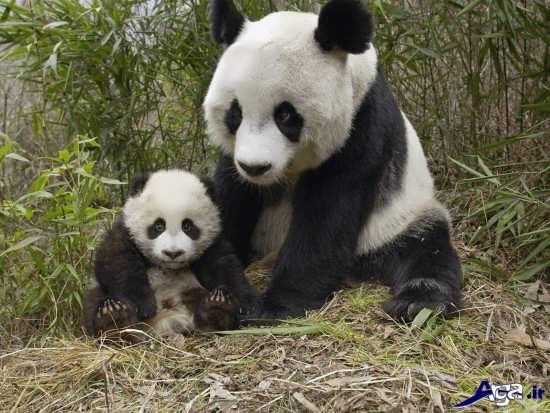 خرس پاندا مادر و بجه
