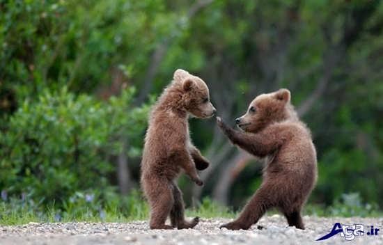 بچه خرس های بازیگوش