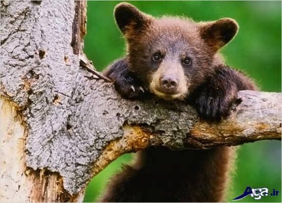 عکس های بچه خرس قهوه ای