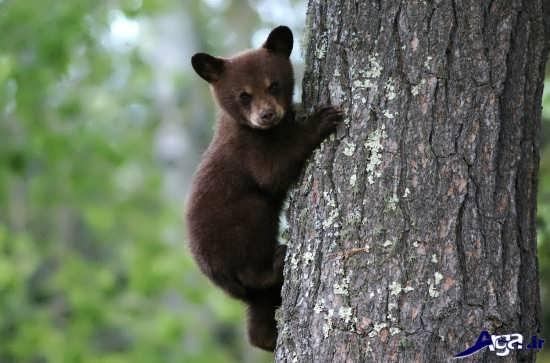 خرس های زیبا