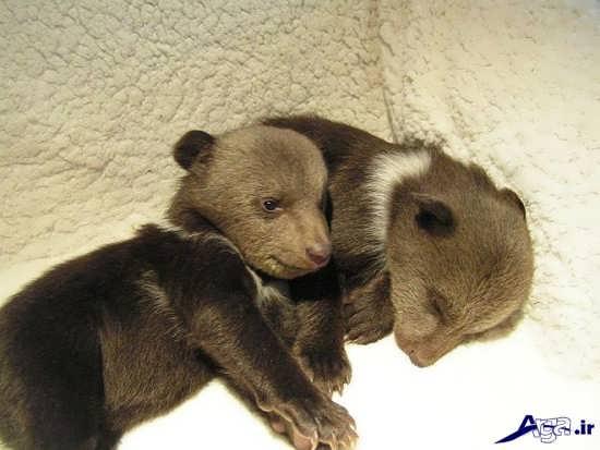بچه خرس های زیبا