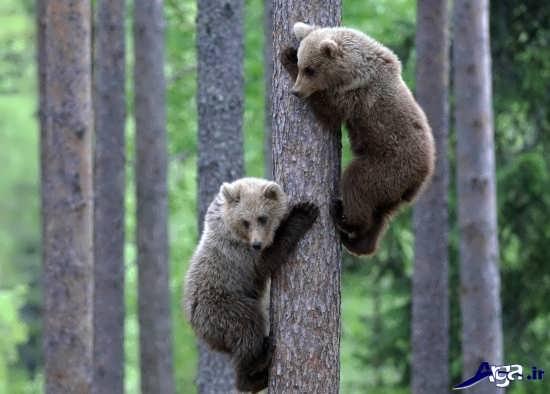 عکس های خرس وحشی