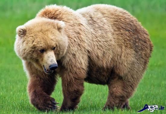 عکس های خرس