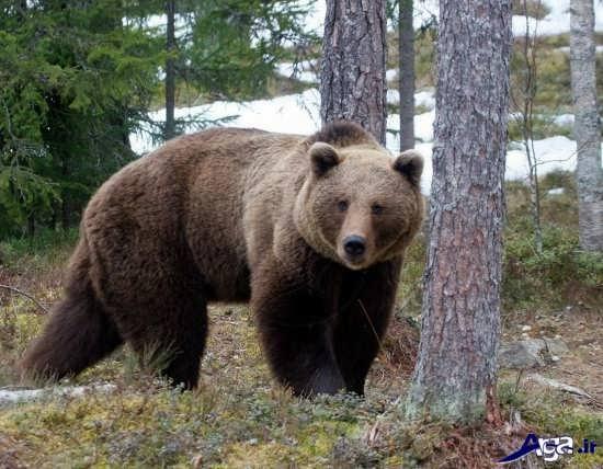 خرس قهوه ای زیبا