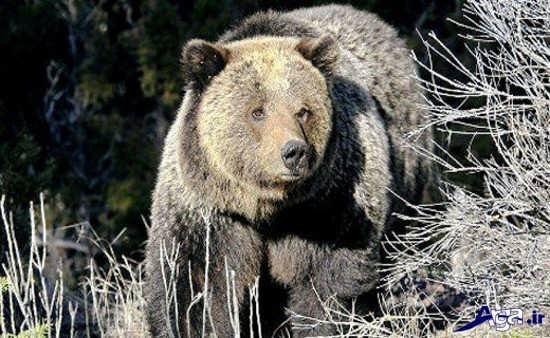 عکس خرس خاکستری