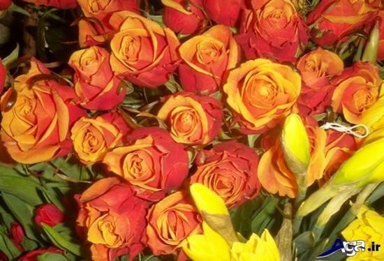 نمونه هایی از گل رز زرد و قرمز