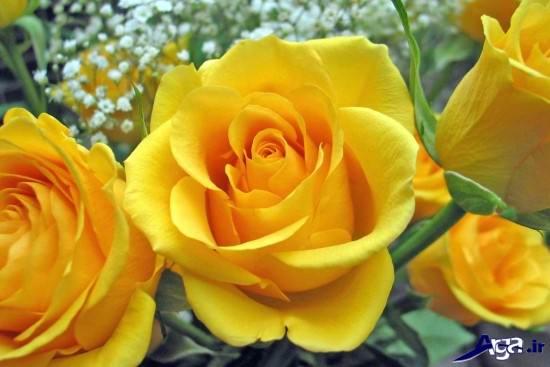 نمونه های زیبایی از عکس گل رز زرد