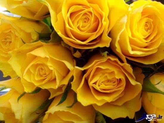 مدل های زیبای گل رز زد