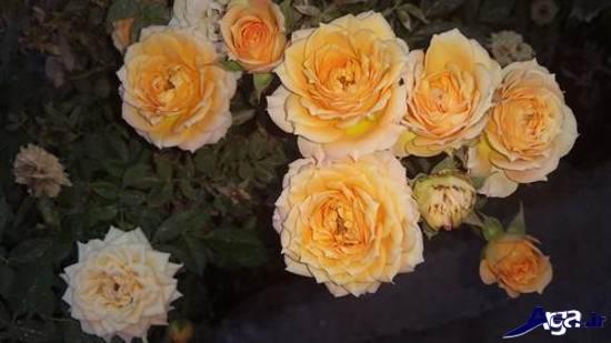 عکس های زیبای گل رز زرد باغچه