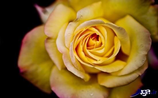 عکس گل رز زرد با کیفیت و زیبا
