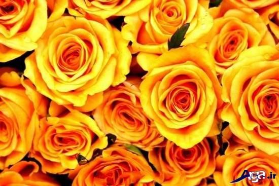 نمونه هایی از گل رز زرد