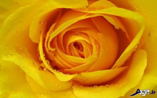 گل رز زرد ب همراه شنبم