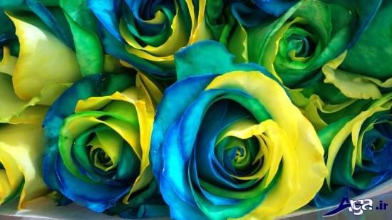 عکس گل رز زرد و آبی