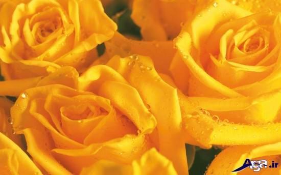 گل های زیبای رز زرد