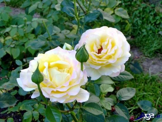 عکس گل رز زرد در باغچه