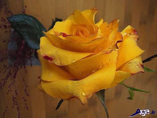 عکس گل رز زرد با کیفیت و عالی
