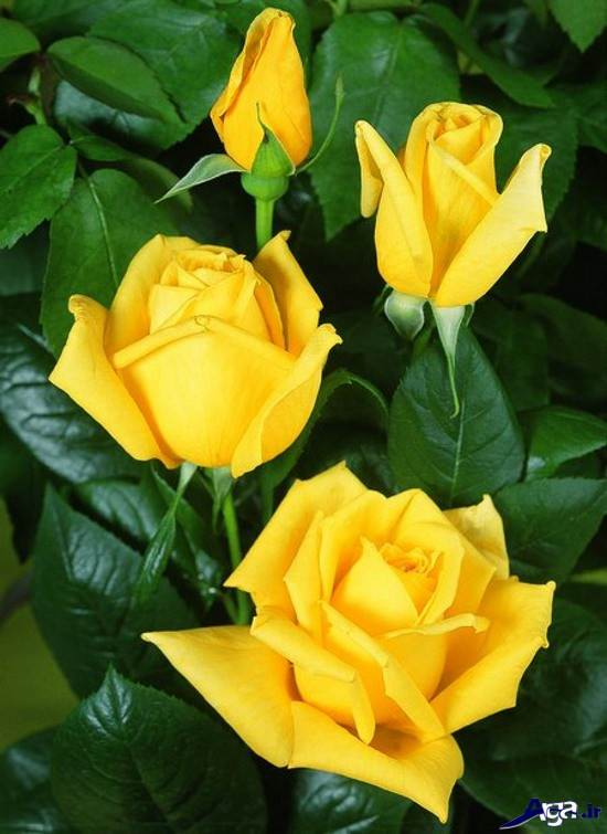 عکس هایی متفاوت از گل رز زرد در باغچه