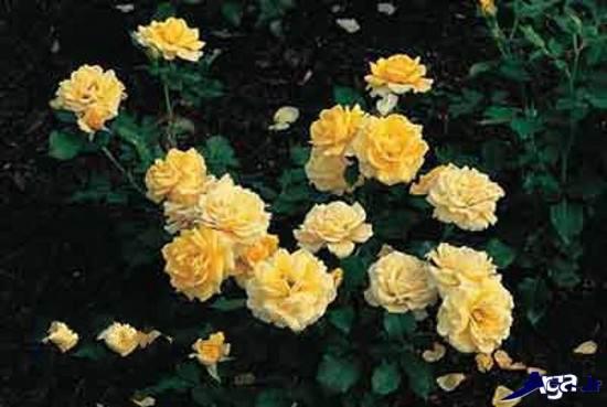 عکس های زیبای گل رز در باغچه