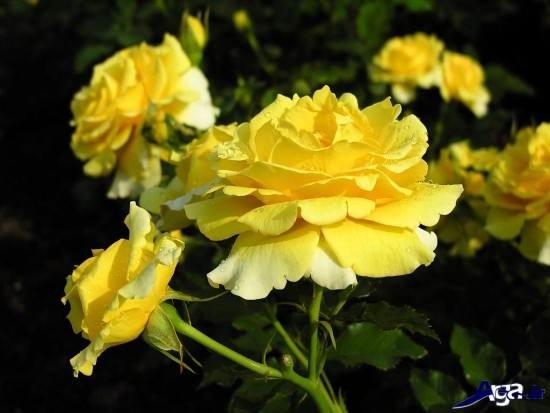 عکس های گل رز زرد