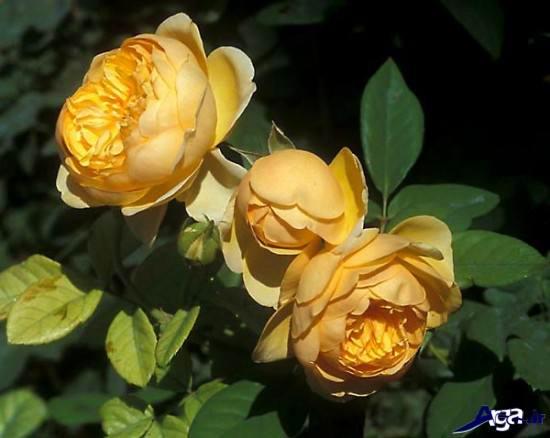 زیباترین عکس های گل رز زرد