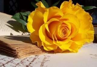 عکس گل رز زرد