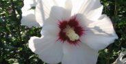 خواص گل ختمی