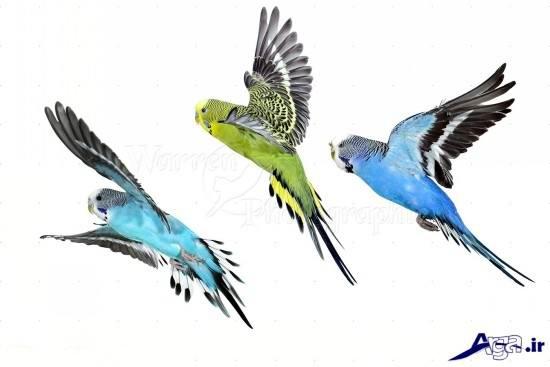 Lovebird (13)