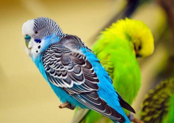 عکس مرغ عشق زیبا