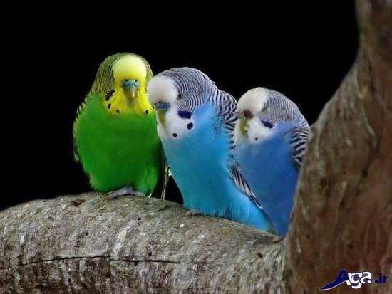 عکس هایی از مرغ عشق