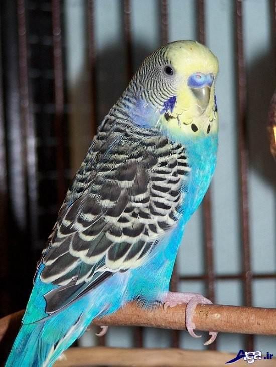 لذت گالری عکس مرغ عشق پرنده زیبای دوست داشتنی
