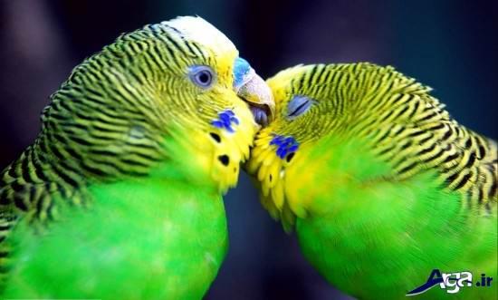 عکس های عاشقانه از مرغ عشق