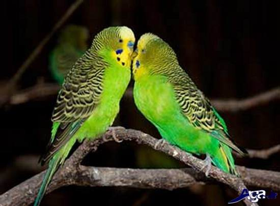 عکس های جالب از مرغ عشق