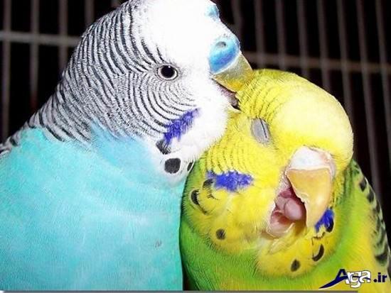 عکس مرغ عشق عاشق