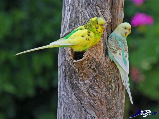 تصاویری از مرغ عشق