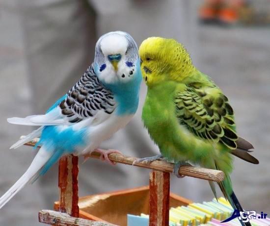 تصاویر مرغ عشق زیبا و خاص