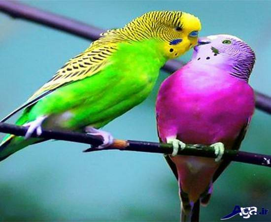 تصاویر مرغ عشق نر و ماده