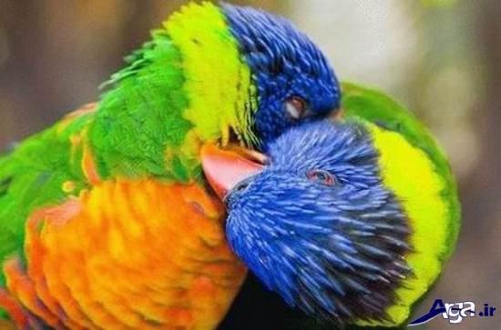 عکس های زیبای مرغ عشق