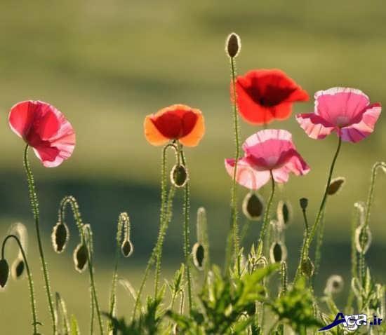 عکس گل های شقایق