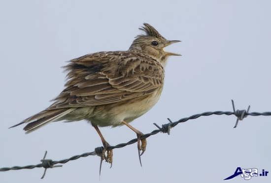 عکس پرنده خوش آواز