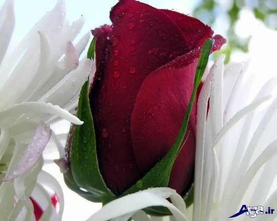گل رمانتیک و عاشقانه