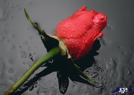 عکس گل عاشقانه