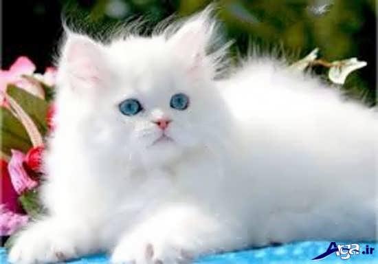 عکس گربه های زیبا و بانمک سفید
