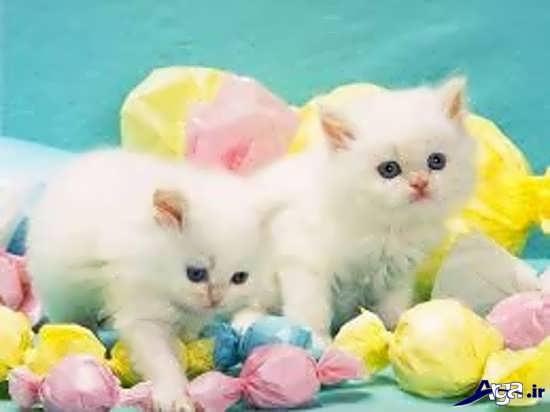 عکس گربه های زیباو ملوس