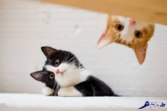 عکس گربه های زیبا و بامزه سفید
