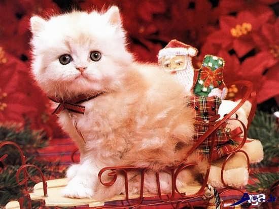 عکس گربه های زیباو سفید